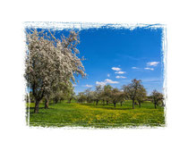 Blühende Obstbäume 9054