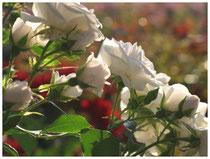 Rose 0403
