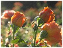 Rose 0846