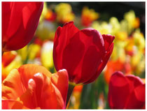 Tulpen 5976