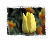 Tulpe 1665