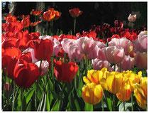Tulpen 2089