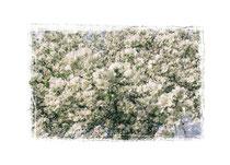 Apfelblüten 3520