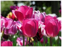 Tulpen 8810