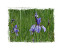 Irisblüte 2445