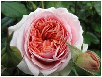 Rose 3167