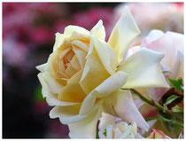 Rose 0430