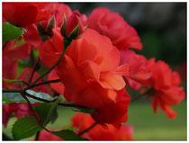 Rose 7458