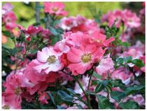 Rose 0384