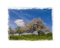 Blühende Obstbäume 9026