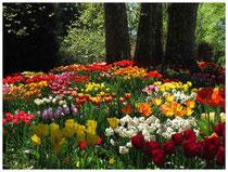 Tulpen 8889