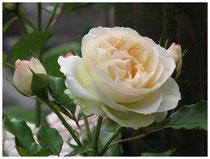 Rose 9768