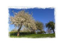 Blühende Obstbäume 3551