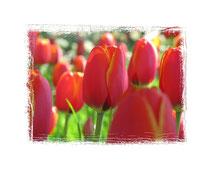 Tulpen 5908
