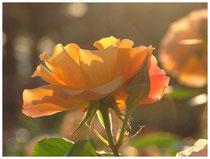 Rose 0380
