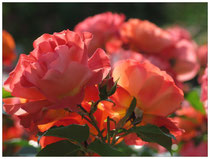 Rose 7517