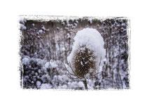 Distel mit Schnee 2253