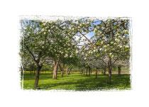 Blühende Obstbäume 3570