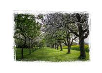 Blühende Obstbäume 3539