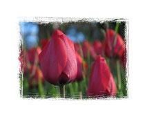 Tulpen 5827