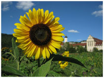 Sonnenblume 6601