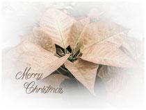 Weihnachtsstern 8528