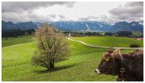 4404 Freundlich und neugierig - die Allgäuer Kühe
