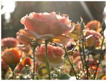 Rose 0392