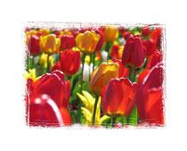 Tulpen 6250