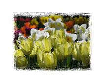 Tulpen 5961