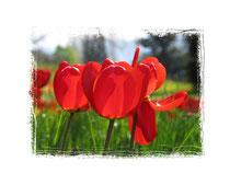 Tulpen 6008