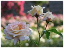 Rose 0428