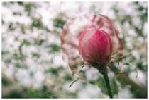 Apfelblüte 3505