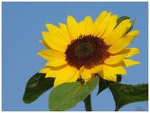 Sonnenblume 1567