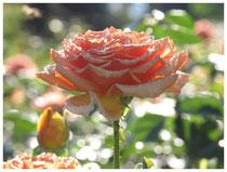Rose 0918