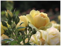 Rose 7500