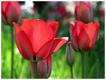 Tulpen 5999