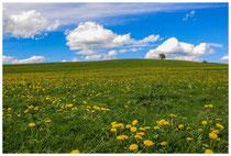 4219 Frühlingswiese im Allgäu
