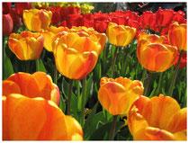 Tulpen 4415