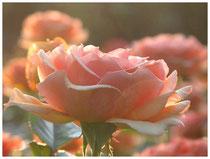 Rose 0376