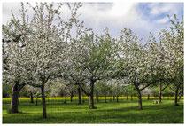 Blühende Obstbäume 3537