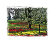 Tulpen 5894