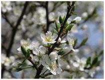 Schlehenblüte 5640