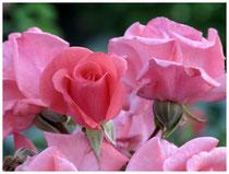 Rose 0796