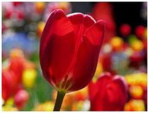 Tulpen 6328