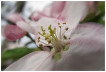 Apfelblüte 3485