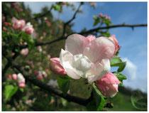 Apfelblüte 6375