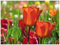 Tulpen 6287