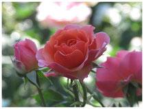 Rose0537