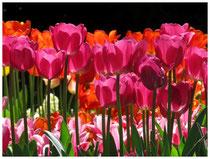 Tulpen 8906